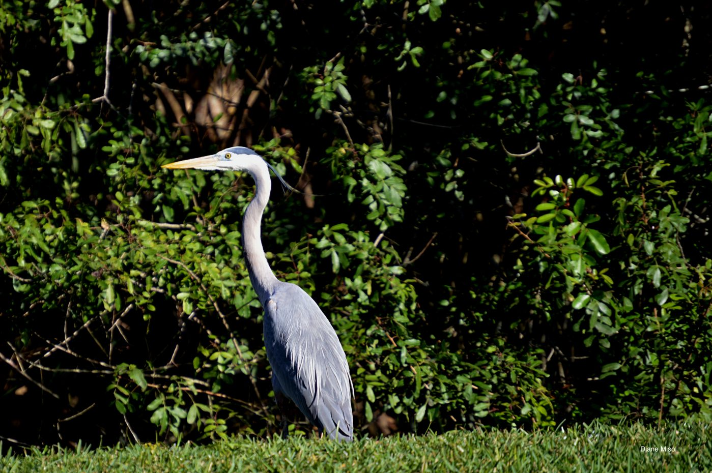 Great Blue Heron, Birdwatching, Lake Okeechobee