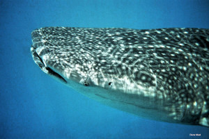 Head of Whale Shark