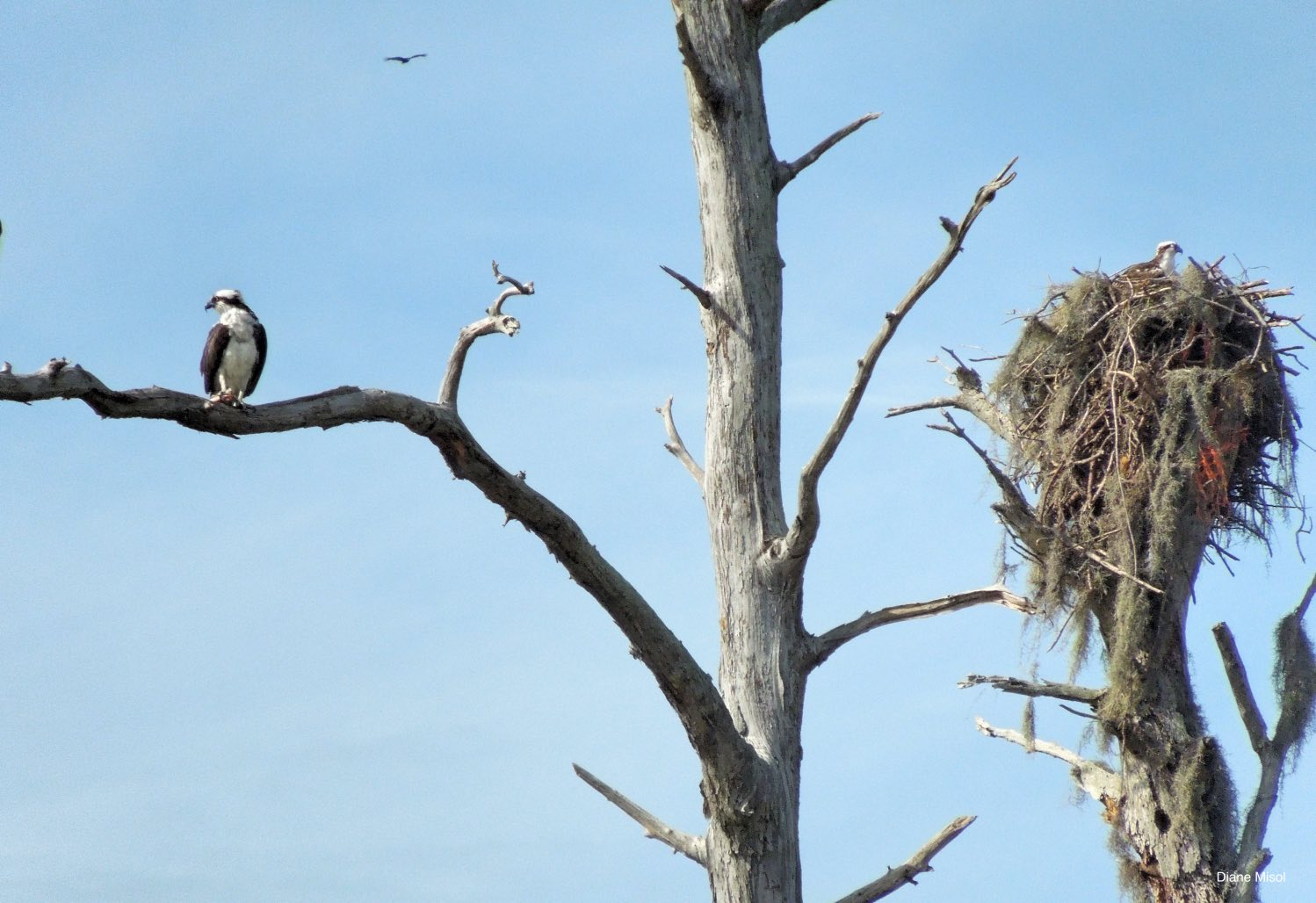 Ospreys, Lake Okeechobee
