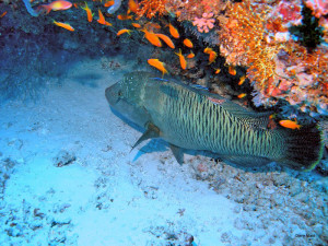 Parrot Fish under a coral rock