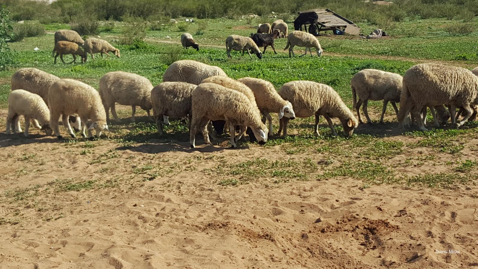 Sheep grazing in the Moroccon Countryside