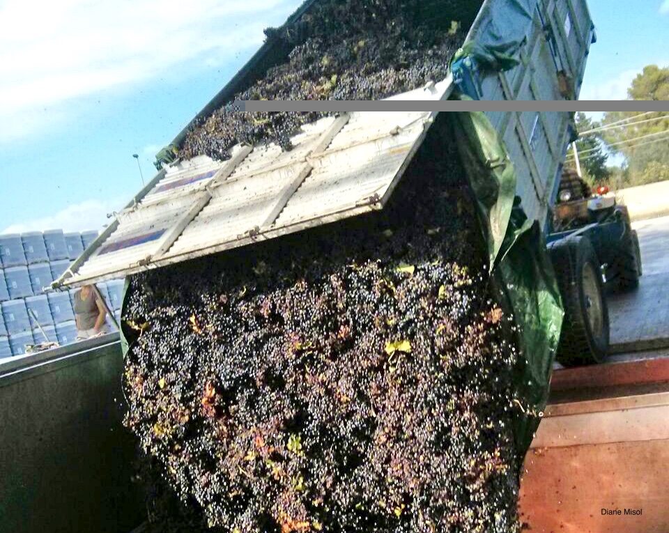 Truck Load Dumps Primitivo Grapes, Puglia, Italy