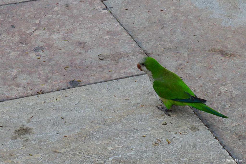 Monk Paraket. Parakeets Everywhere in Malaga, Spain