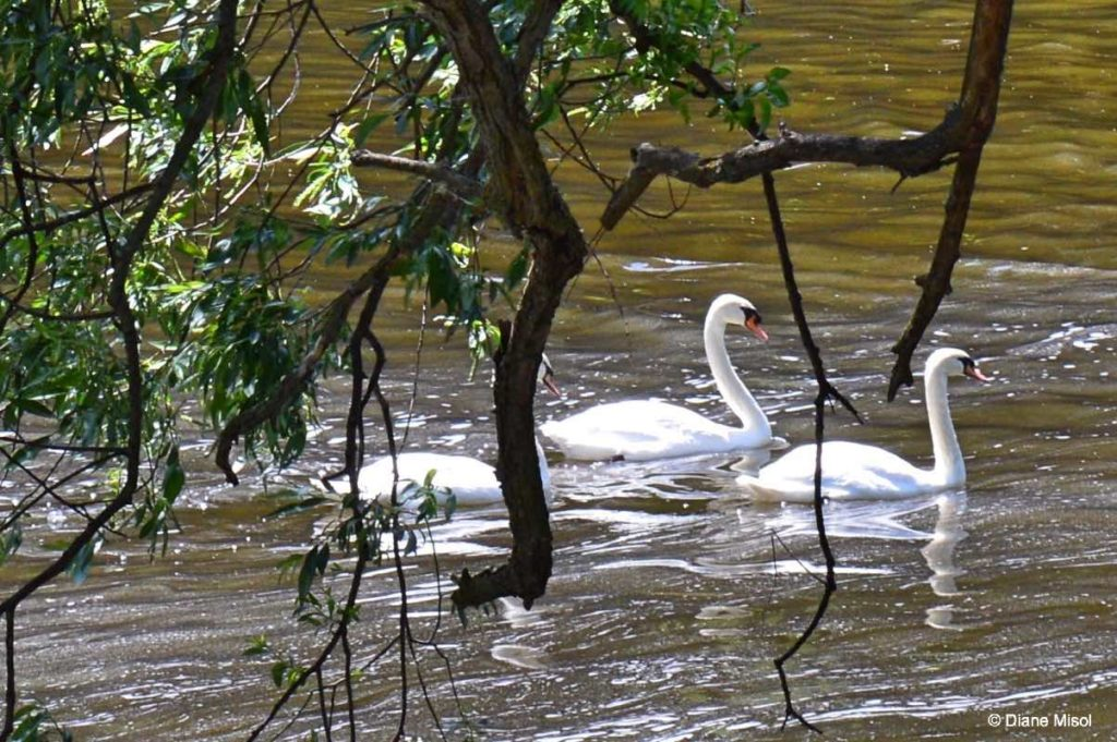Swans on the Grand River. Elora, Ontario, Canada
