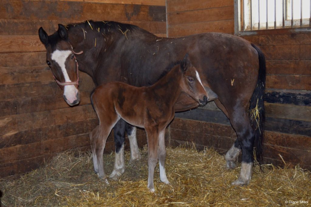 Ciao Ladies! Birth of a Colt. Middlebrook Stables, Ontario, Canada