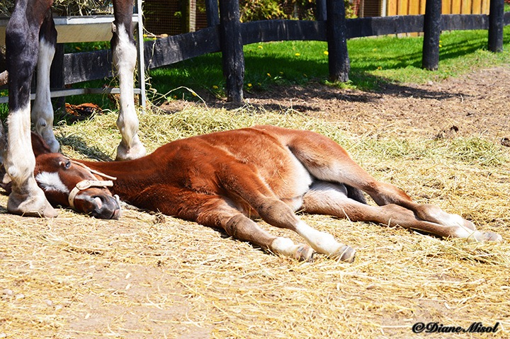 Colt takes a Rest. Middlebrook Stables, Ontario, Canada