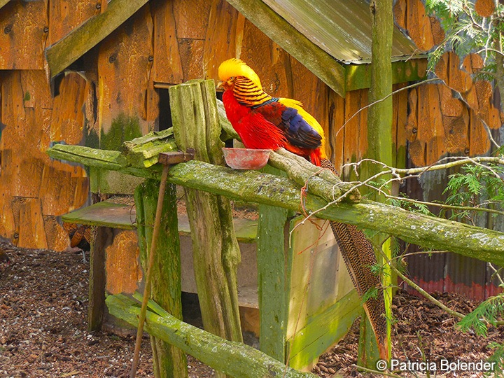 Golden Pheasant. Middlebrook Stables, Ontario, Canada