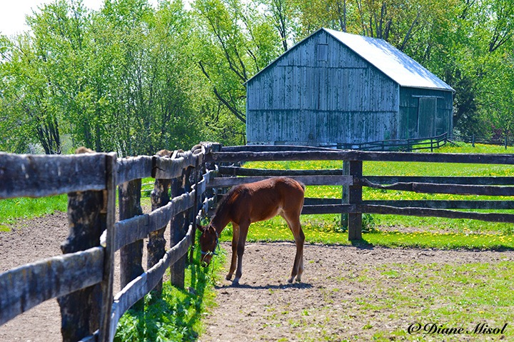 Hanging Out at Middlebrook Stables. Ontario, Canada