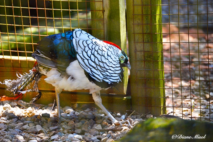 Lady Amherst Pheasant, Middlebrook Stables. Ontario, Canada