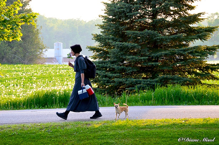 Mennonite Teacher Walks by Middlebrook Stables. Ontario, Canada