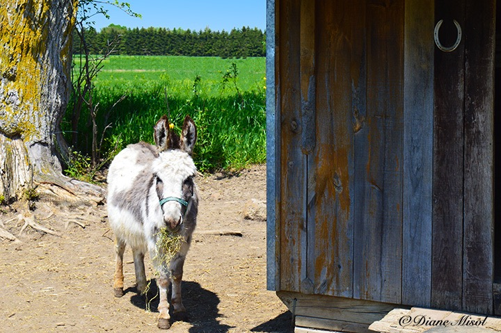Mini Donkey. Middlebrook Stables, Elora, Ontario, Canada