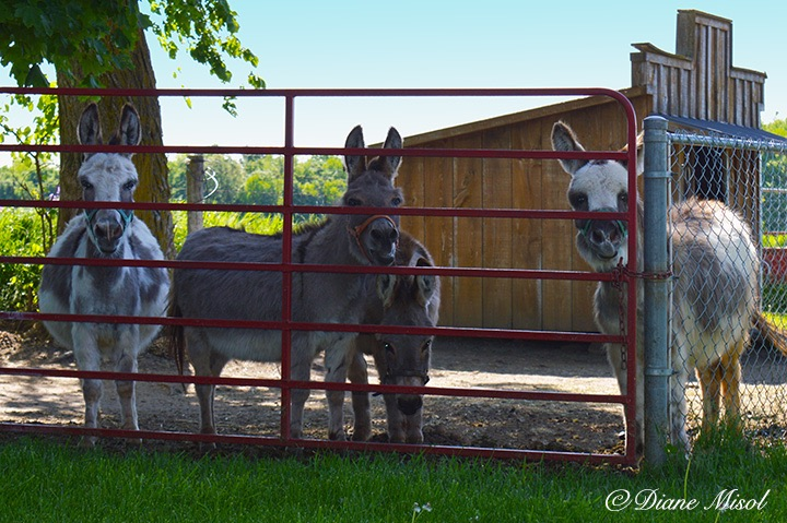 Miniature Donkeys say hello. Middlebrook Farm. Ontario, Canada