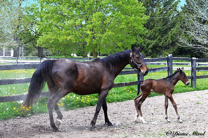 Mother and Colt. Middlebrook Standardbred Horse Farm. Ontario, Canada