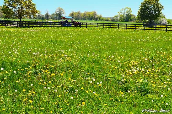 Paddock full of Flowers. Middlebrook Stables Standardbred Horse Farm