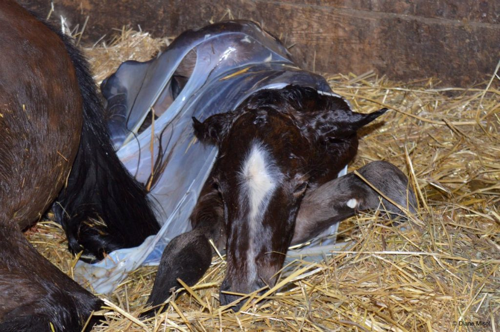 Priscilla is Born - Birth of a Colt at Middlebrook Stables. Ontario, Canada