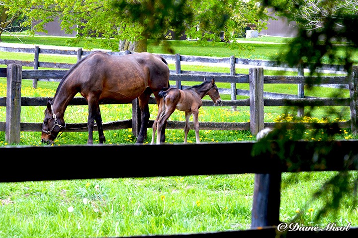 Standardbred Horse and her Colt. Middlebrook Stables Farm, Ontario