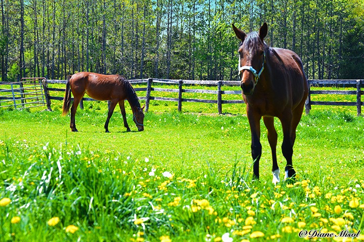 Standardbred Pacers. Horses of Middlebrook Stables. Ontario, Canada