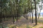 Rubber Trees - Vietnam
