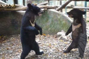Bear Play - Luang Prabang Bear Rescue Center, Laos