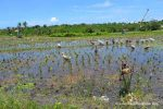 Ducks in the Rice Fields - Canggu, Bali