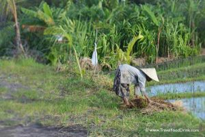 Old Woman Working the Rice Fields - Canggu, Bali