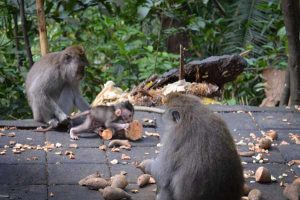 Baby with Parents - Sacred Monkey Forest