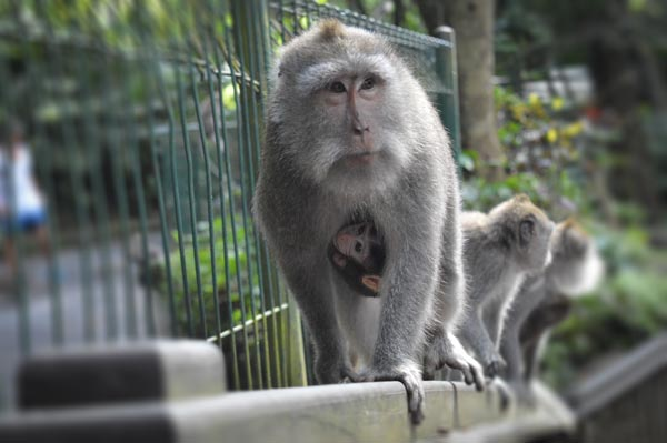 Hang on Baby - Sacred Monkey Forest, Bali
