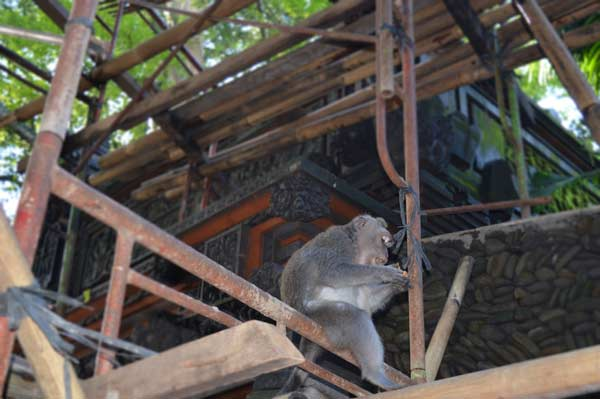 Monkey at Work - Bali