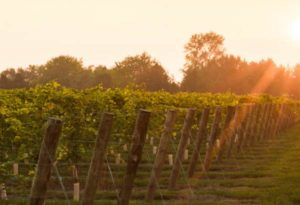 Sunshines on Schatz Winery Vineyard